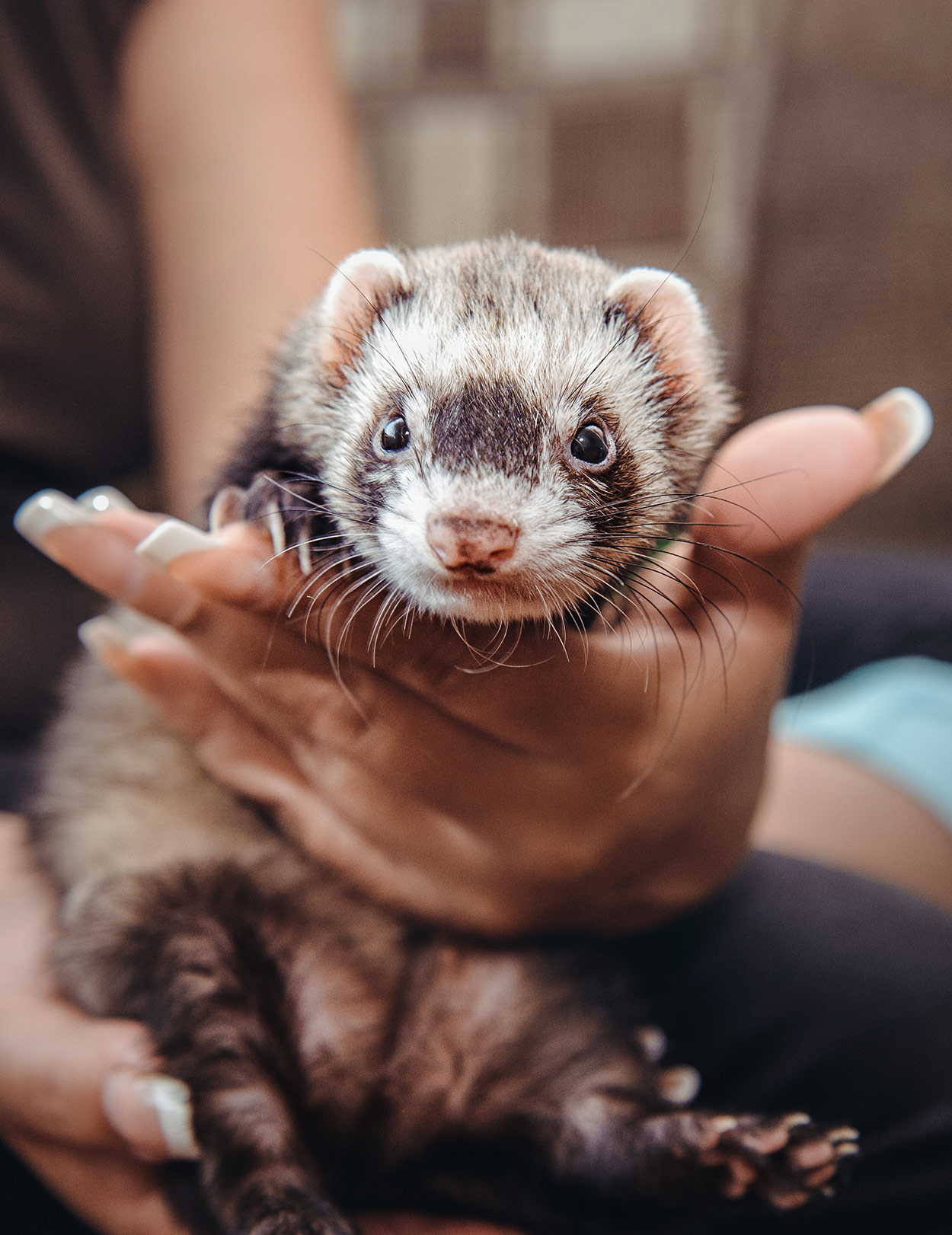 adrenal disease in ferrets