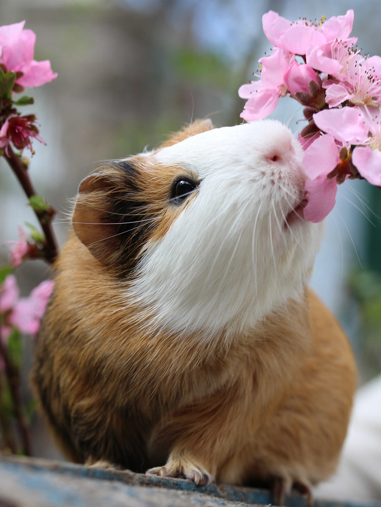 american guinea pigs