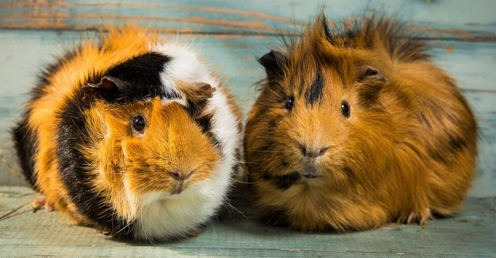 baytril for guinea pigs
