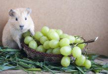can guinea pigs eat graps