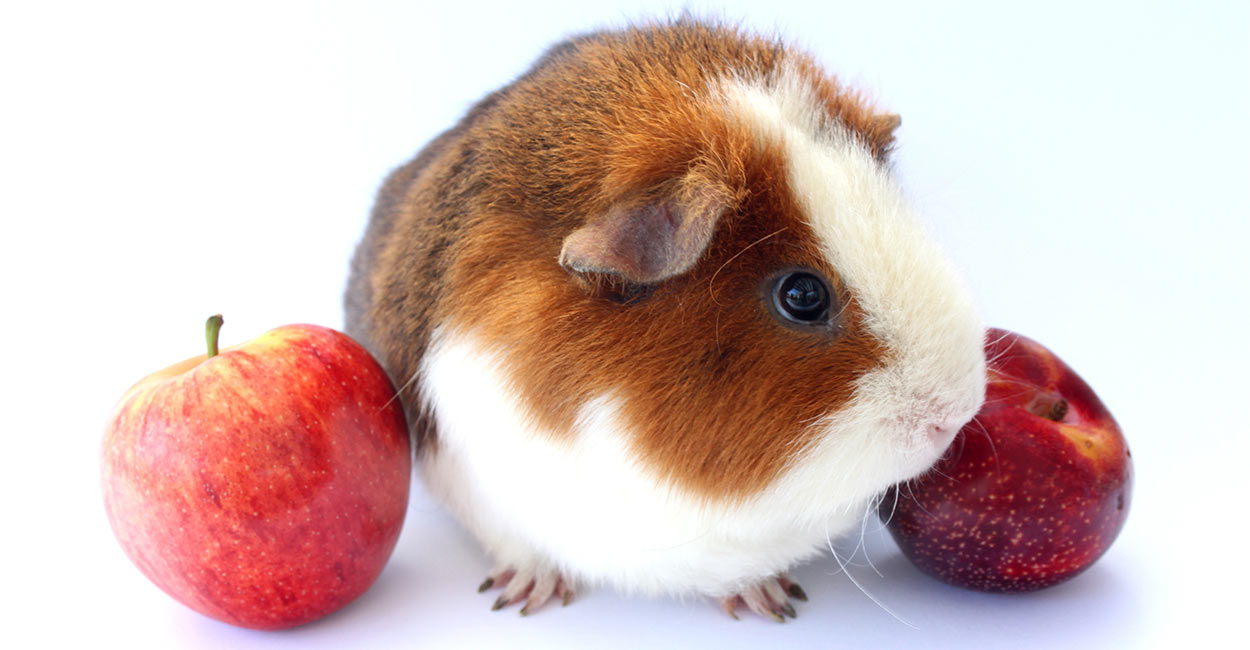 Can Guinea Pigs Eat Plums - Or These Treats Best Avoided?