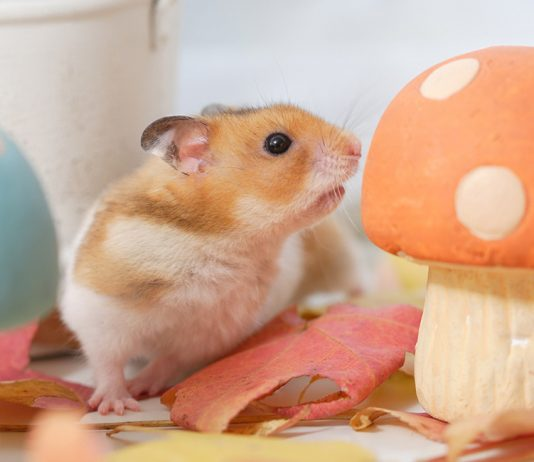 can hamsters eat mushrooms