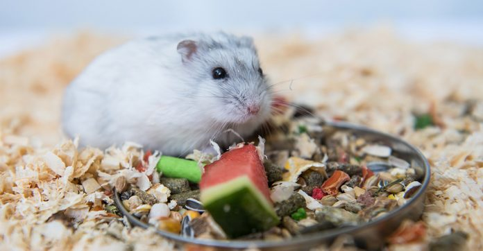 can hamsters eat watermelon