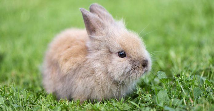 can rabbits eat asparagus