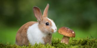 can rabbits eat mushrooms