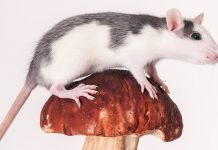 can rats eat mushrooms