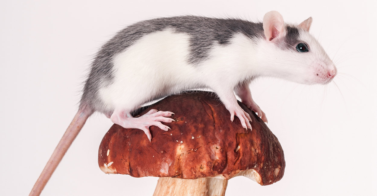 Image result for rat eat fungi