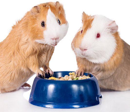guinea pig food