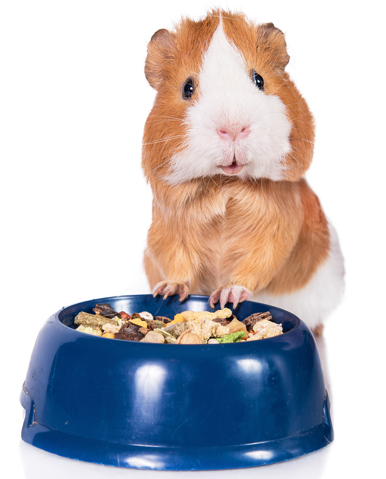Choosing The Best Guinea Pig Food For Your Perfect Pets