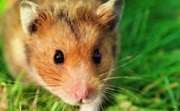 hamster mites