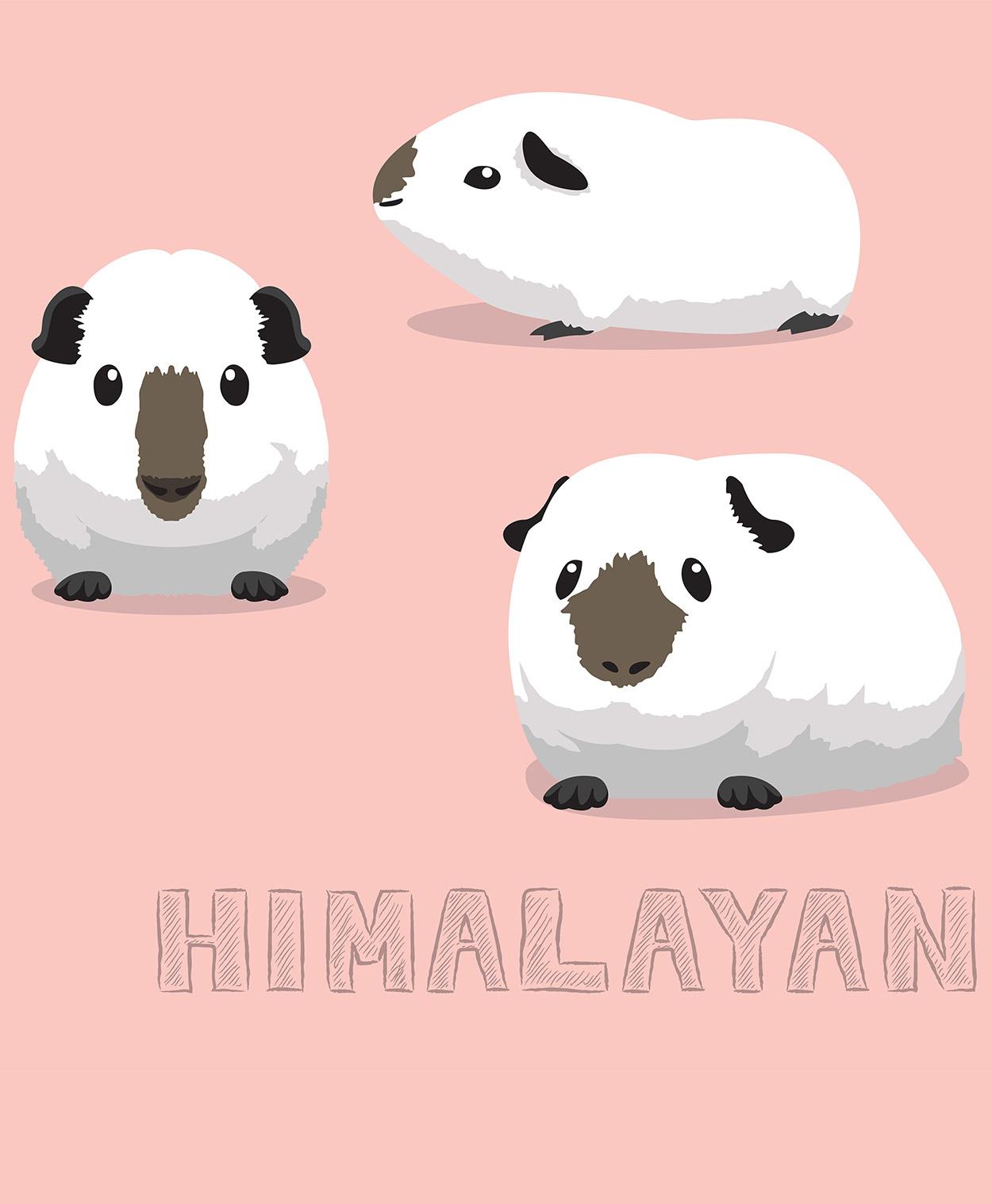 himalayan guinea pg