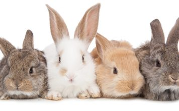 rabbit colors