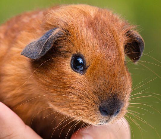 short haired guinea pigs