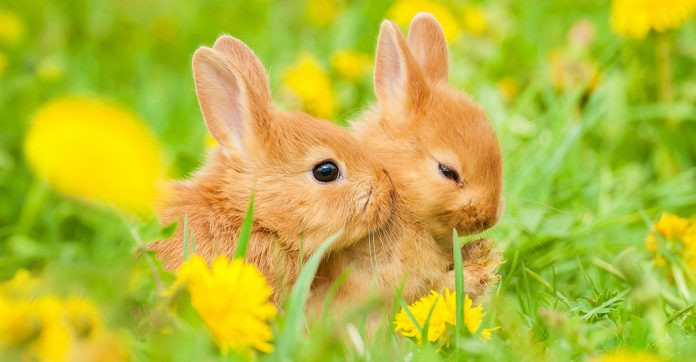what do baby rabbits eat