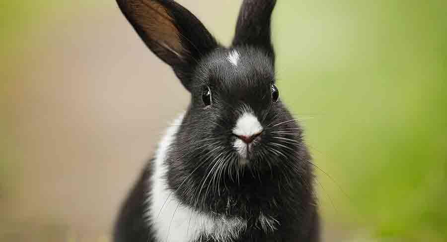 black and white britannia petite rabbit