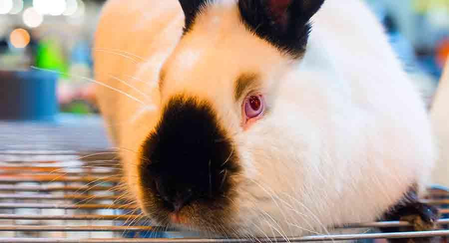 black and white himalayan rabbit