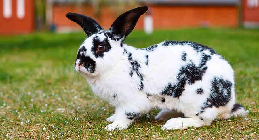 black and white checkered giant rabbit