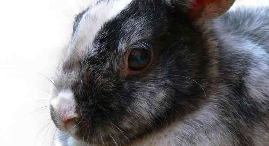 Black and white harlequin rabbit