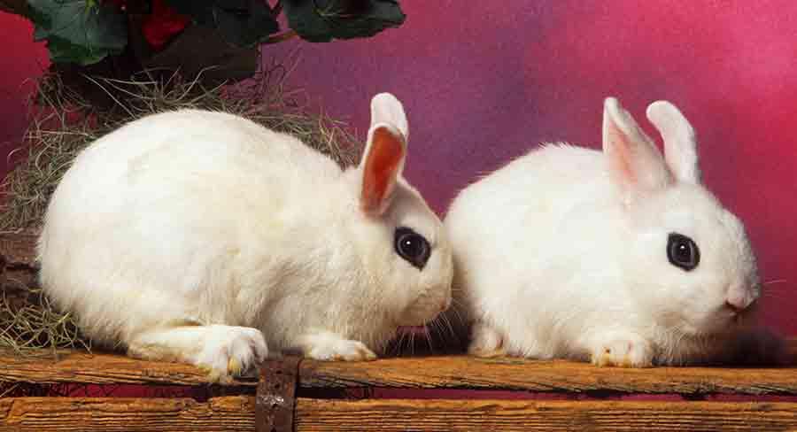 black and white hotot rabbit