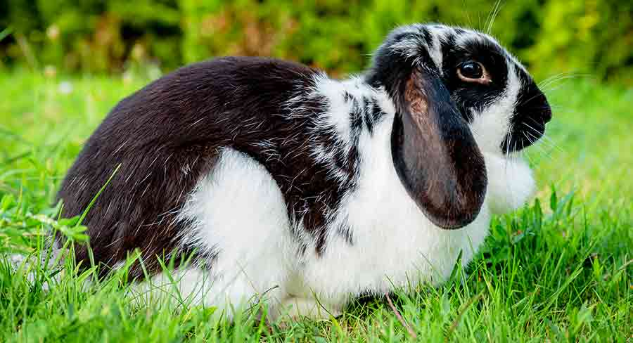 black and white lop rabbit