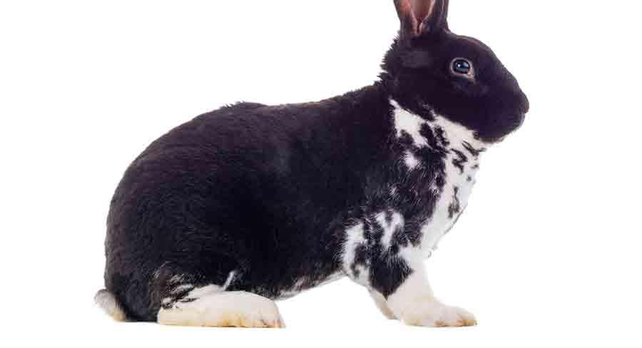 black and white satin rabbit