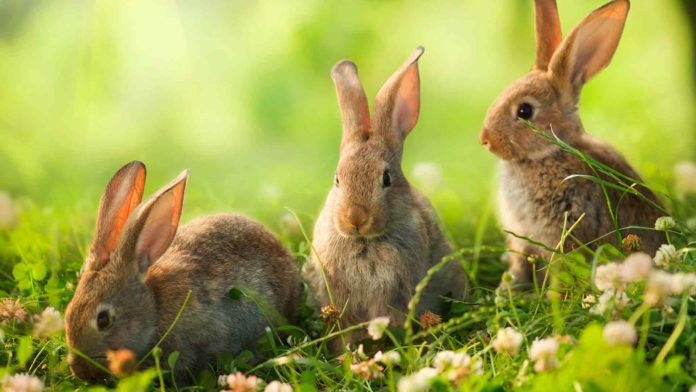 wild rabbit diet