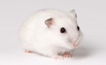 Winter White Hamster Facts