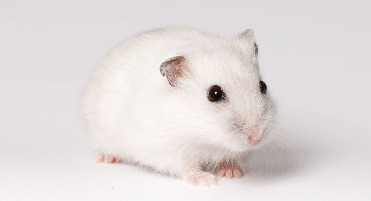 why+is+hamster+losing+weight