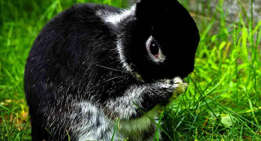 black and white netherland dwarf rabbit