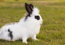 black and white rabbit breeds