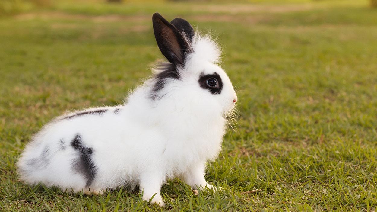 black and white rabbit breeds