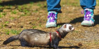 best ferret harness