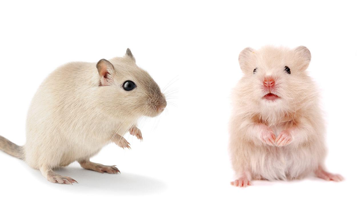 Gerbils vs hamster
