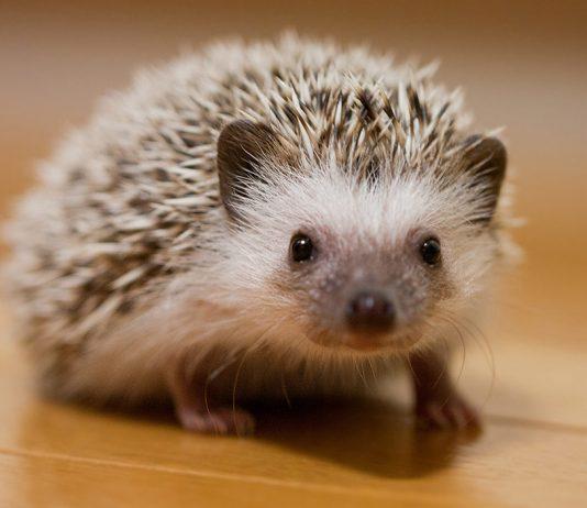 hedgehog names