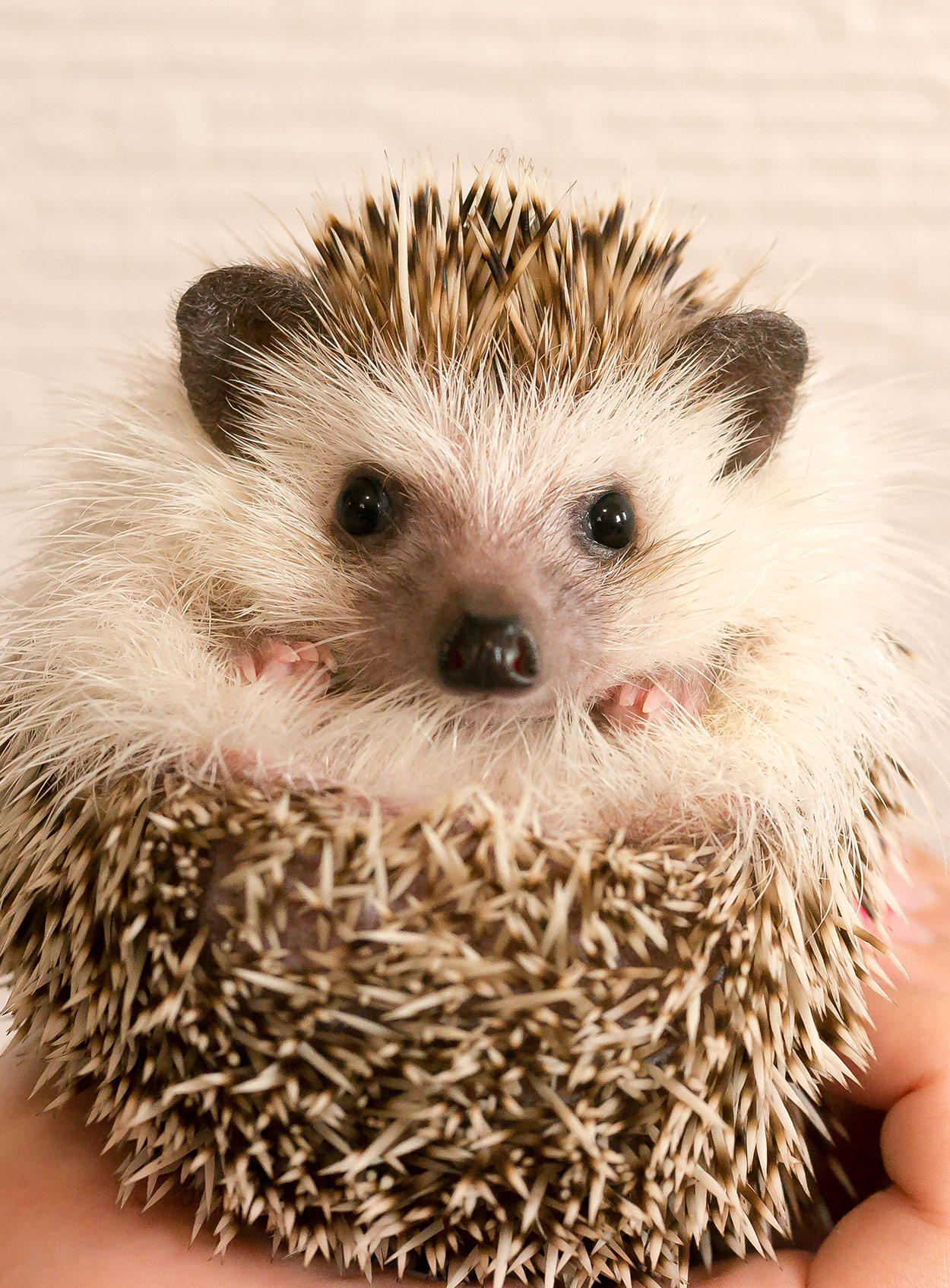 hedgehog names - 200 amazing ideas for naming your prickly pal