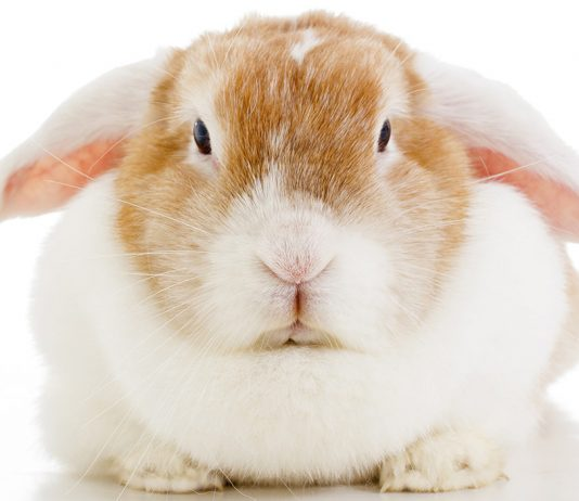 lop eared rabbit