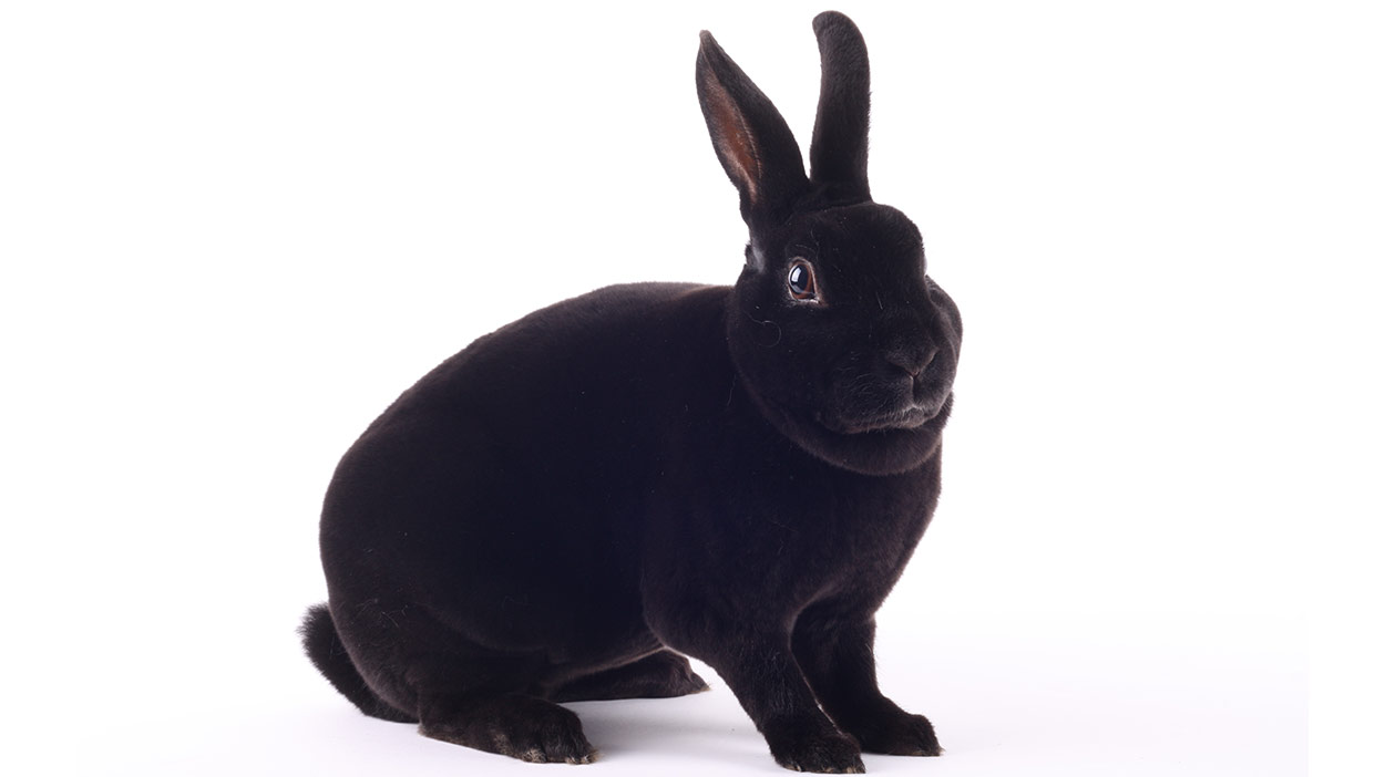 Mini Rex Rabbit Is This Your Ideal New Pet