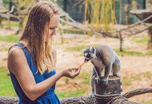 pet lemur