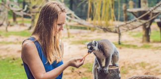 pet lemur