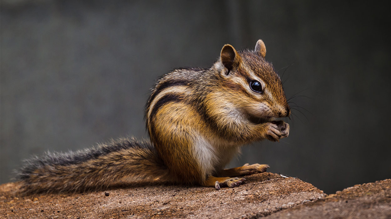 What do chipmunks eat and what should you feed them as pets How do you keep rabbits out of your garden