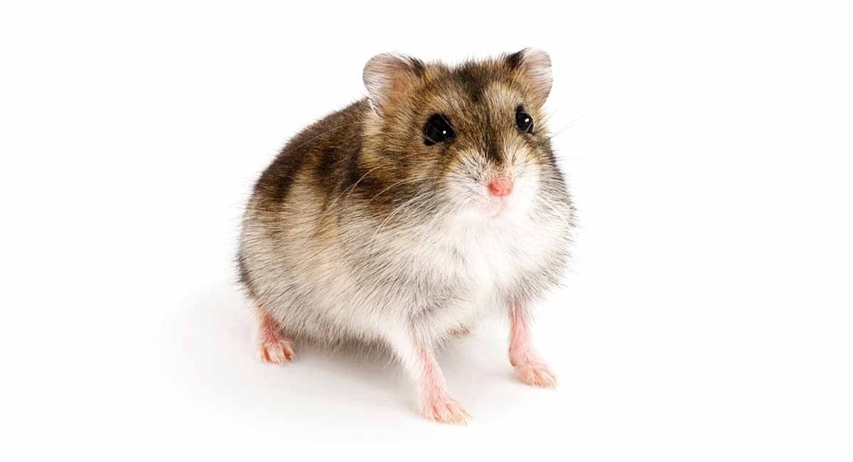 Chinese Hamster breed info