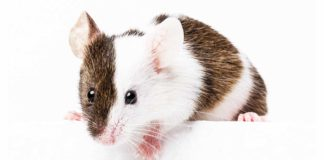 Pet Mice - A complete guide