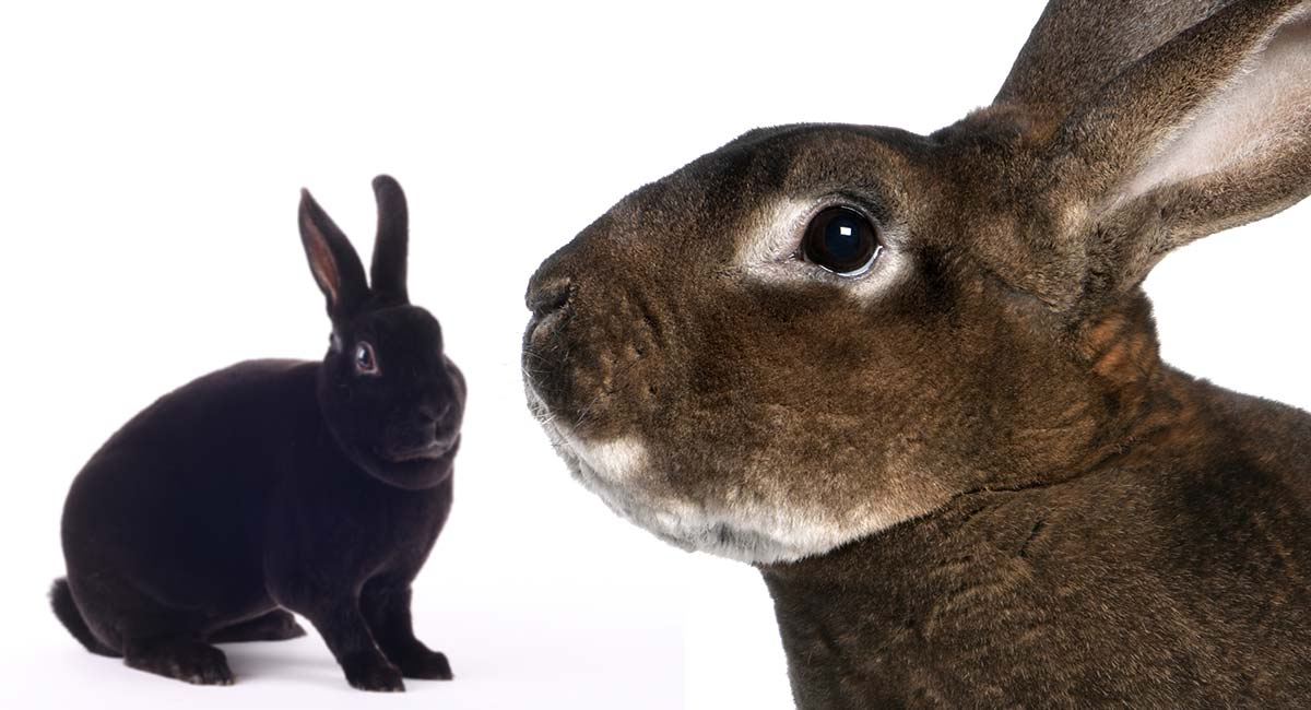 The Rex Rabbit - Helping You Decide If The Rex Rabbit Is Right for You!