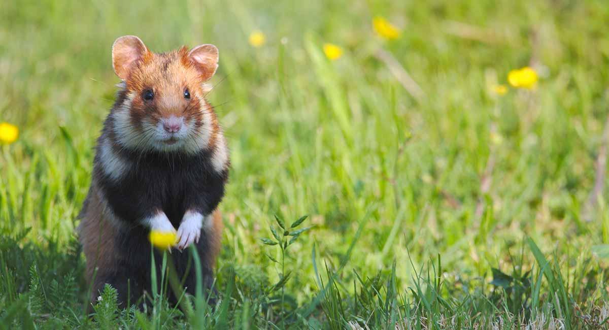 Where do hamsters come from originally