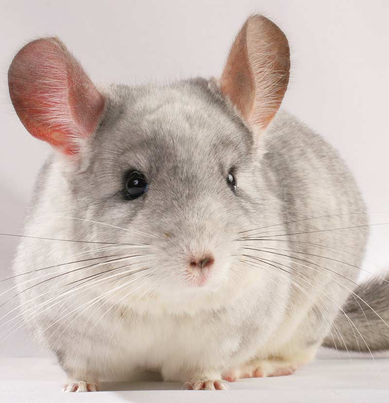 best rodent pet - chinchilla
