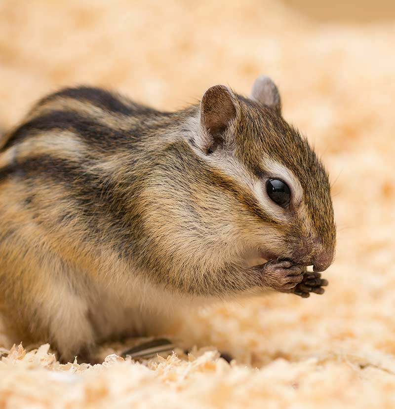 best rodent pet - chipmunk
