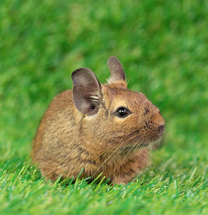 best rodent pet - degu