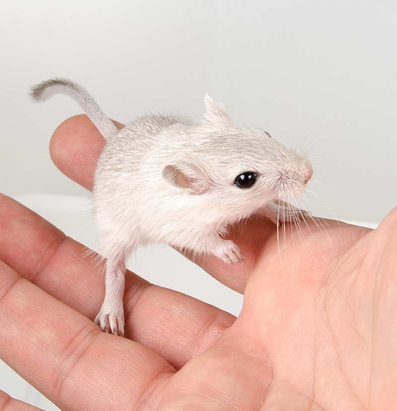 best rodent pet - gerbil