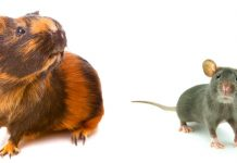 best rodent pet