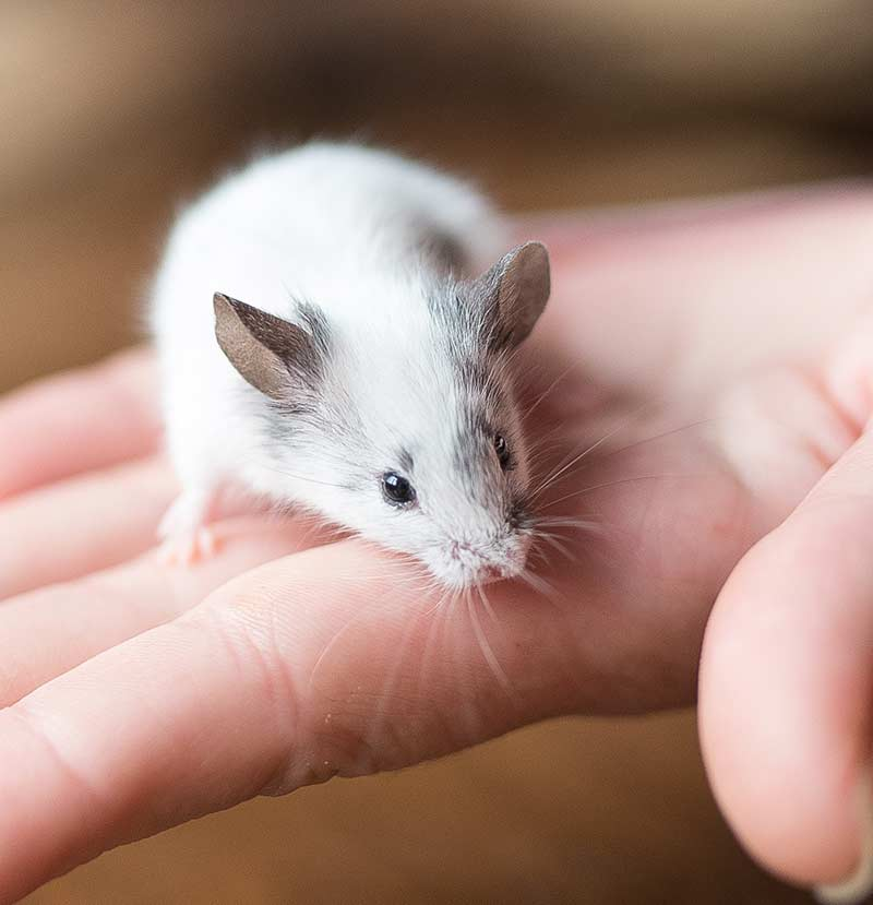 best rodent pet - mouse